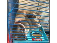 Beautiful Baby Rats For Sale £10 each