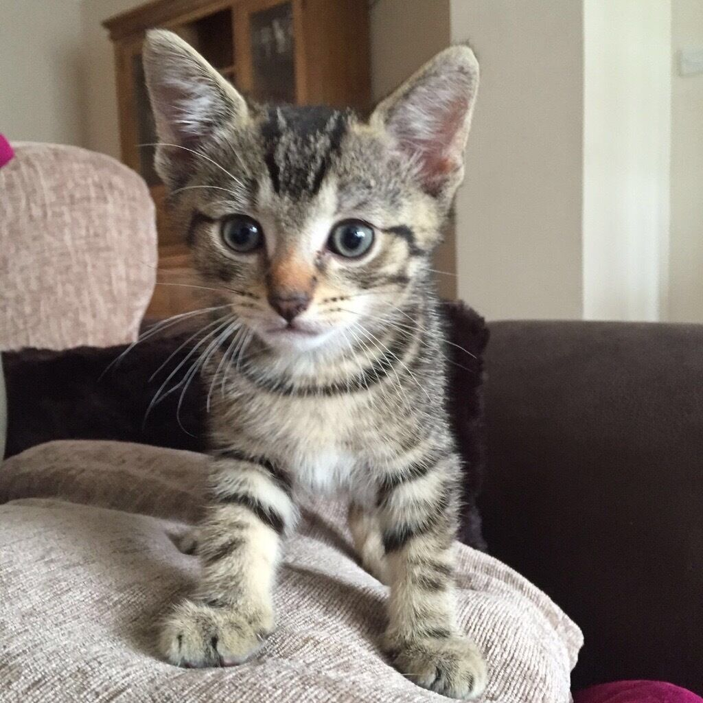Tabby Kittens For Sale
