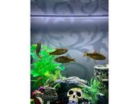 Fish - Gold Barbs