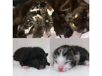 Tabby and white kittens ready July 21st