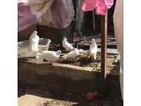 Beautiful fantail pigeons for sale