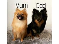 Pure Pomeranian Pups