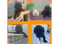Toy poodles now ready kennel registered