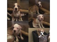 5 male American bulldog puppy's ready to go now