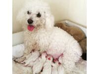 I have Bichon Frise puppy for sale 4 boys and 2 girls ,they are 7weeks.