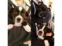 Five Stunning Staffordshire Bull Terrier Puppies