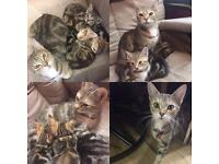 Adorable Marbled Bengal Kittens + Starter packet £600 each