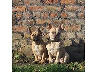 Tri merle french bulldog