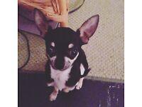 Teacup Chihuahua 250.00