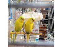 Budgies & cage