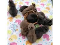 6 lionhead bunnies