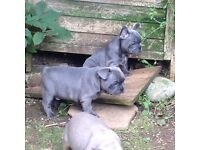 Blue French Bulldog Puppy. Ready now. Gorgeous chunky dark blue boy available.