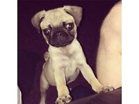 Pug pup for sale.. Sadly just no time for him due to work routine. 20 weeks old..