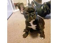KC Registered Female French Bulldog Puppies