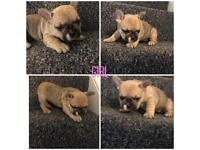 Kc French bulldog for sale