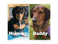 Dachshund Puppies - Black/Tan, Brown/Tan, Red/Light Red - Male and Female