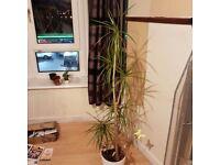 Plant palm