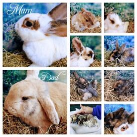 Loving Baby Bunnies for Sale - Looking for their forever home