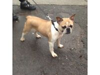 KC Fawn French Bulldog Female 2 years old