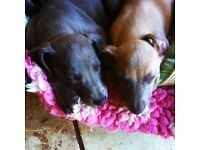Gorgeous KC Registered Blue Whippet Puppies