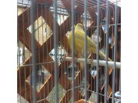 RAZA canaries for sale