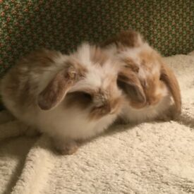 Mini lion lops Bunnies