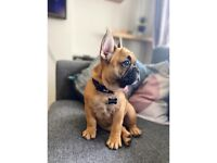 13 week old French bulldog pup