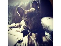 Looking for property to rent with small fully house trained french bulldog. See pictures.