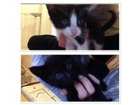 Two 8 week old kittens