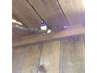 Blue gouldian finch, really beautiful, for sale