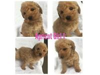 7 Miniture Labradoodle Puppies