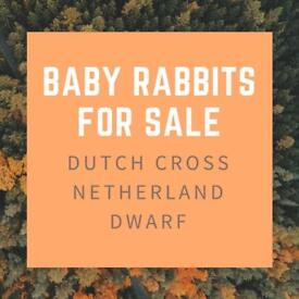 Baby Rabbits For Sale - Dutch cross Netherland Dwarf