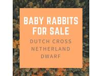 Baby Rabbits For Sale - Dutch cross Netherland Dwarf