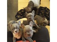 Quality stocky frenchies for sale