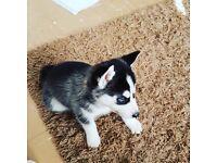 12 week old husky puppy