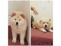 Chow Chow!!! (bos&girl)