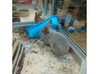 baby rabbit ( lionhead chinchilla grey)