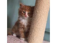 Ginger kittens last 2