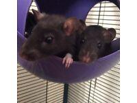 3 female rats (last 3)