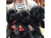 Beautiful Puggle cross puppies