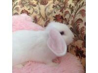 Beautiful rex cross mini lop rabbits for sale ready now