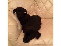 Young Labrador puppys