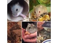Dwarf Baby Winter White Hamsters - now ready for new homes!
