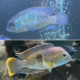 Fish aquatic tropical