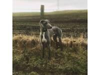 Beddlington greyhound/ lurcher dog