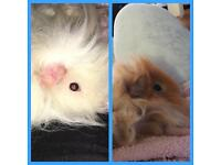 Rare long haired guinea pigs for sale