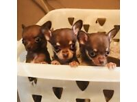 TINY LITTLE CHIHUAHUA PUPPYS DOGS FOR SALE READY TO GO