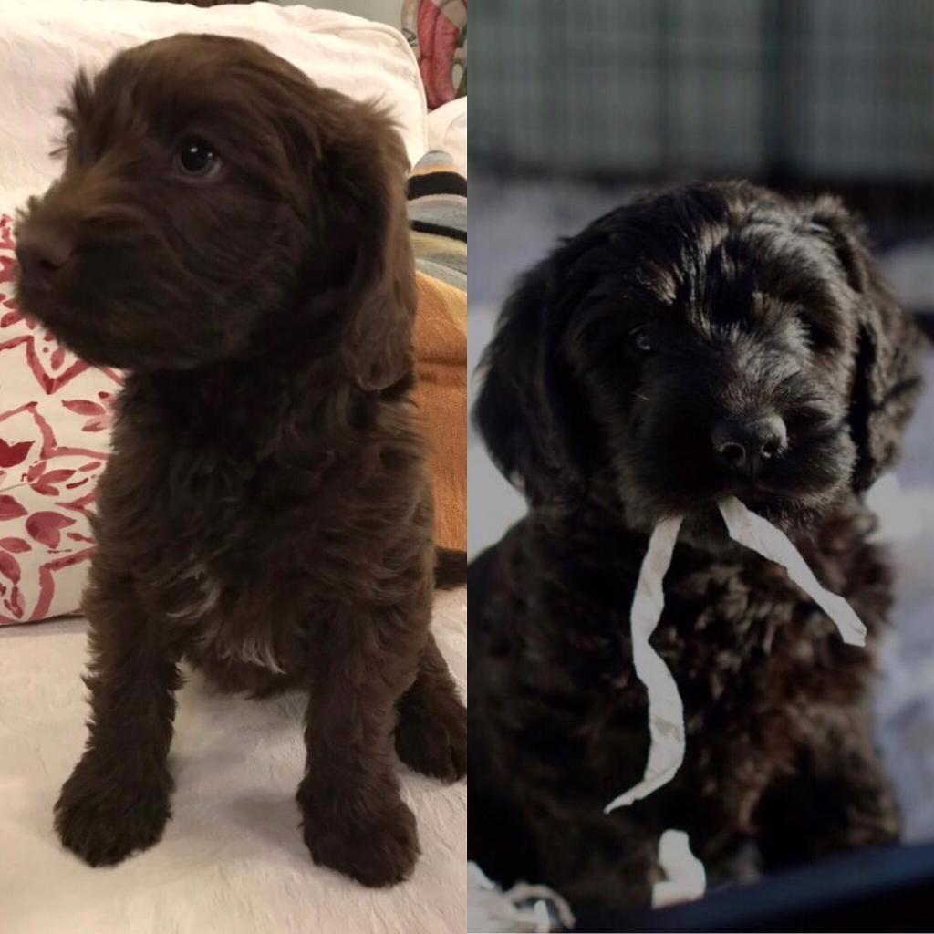 Beautiful black (£1100) and brown (£1300), female half-Australian  labradoodle puppies | in Swindon, Wiltshire | Gumtree