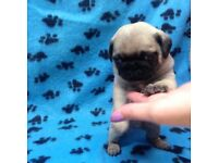 Pedigree pug puppies for sale