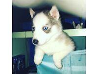 Jake my Siberian husky pup